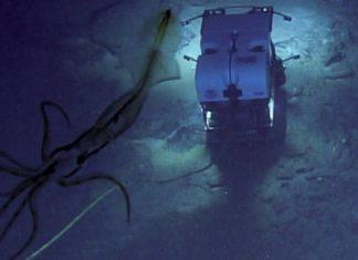 mermaid squid news, mermaid-like squid, noaa pictures squid looking like a mermaid