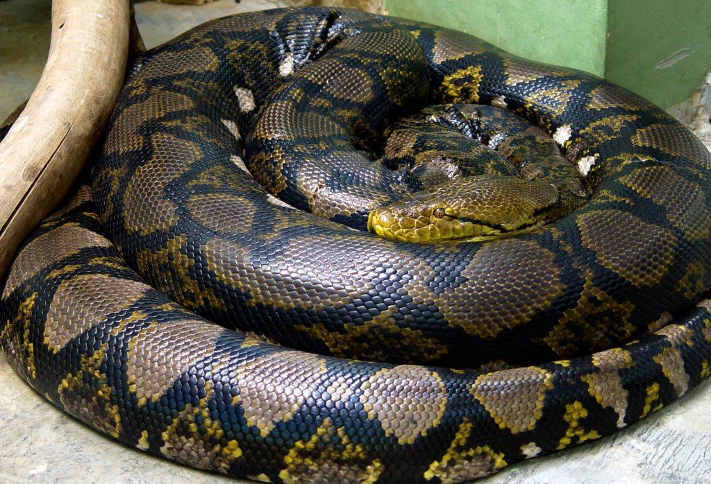 python kills woman indiana, python kills woman indiana video, python kills woman indiana photo