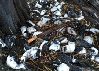 alaska seabird mass die-off fukushima
