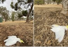 australia animals drop dead from trees, australia animals drop dead from trees pictures, australia animals drop dead from trees videos