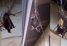 Bat captured in spider web in Poteet Texas, Bat captured in spider web in Poteet Texas pictures, Bat captured in spider web in Poteet Texas video
