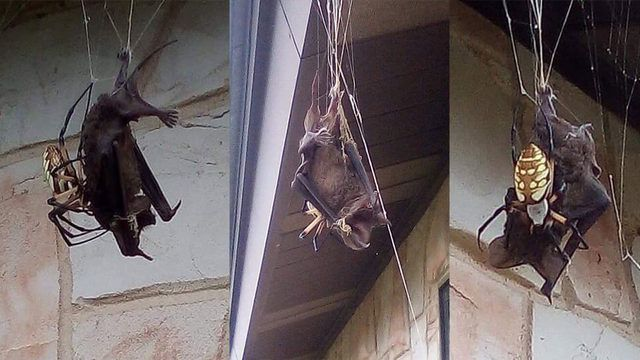 Bat captured in spider web in Poteet Texas, Bat captured in spider web in Poteet Texas pictures, Bat captured in spider web in Poteet Texas video