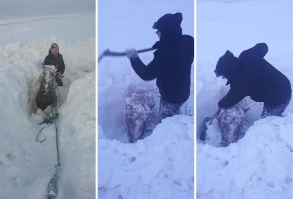 Icelandic farmer digs out horses buried under deep snow, Icelandic farmer digs out horses buried under deep snow video, Icelandic farmer digs out horses buried under deep snow pictures, Icelandic farmer digs out horses buried under deep snow december 2019 cyclone