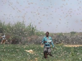 locust invasion somalia, locust invasion somalia video, locust invasion somalia news, locust invasion somalia pictures