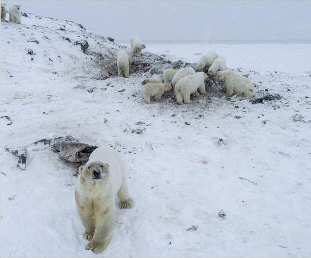 polar bear invasion russia, polar bear invasion russia pictures, polar bear invasion russia video
