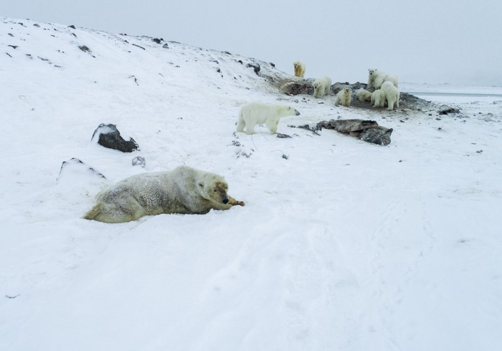polar bear invasion russia, polar bear invasion russia pictures, polar bear invasion russia video