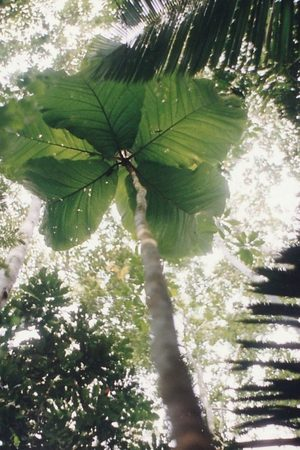 tree human-sized leaves amazon,Leaves of Coccoloba gigantifolia can reach 2.5 meters (8 feet) in length
