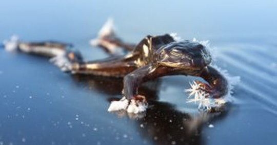North America's wood frogs survive frigid winter weather by undergoing a freezing and thawing cycle, wood frog freezin and thawing cycle