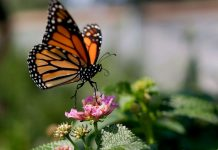Monarch butterflies in California at critically low level for 2nd year in a row