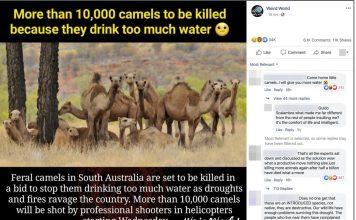 camel cull australia, camel cull australia january 2020, camel cull australia 2020 video