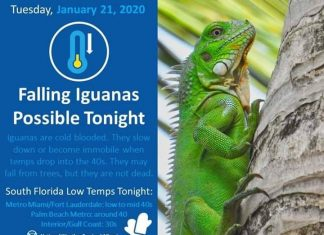 It's so cold in Florida right now that iguanas are falling out of trees, florida falling iguanas warning, iguanas are falling from trees in florida, cold weather iguana falling from trees in florida