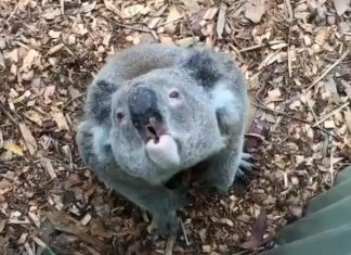 koala sound video, unexpected koala sound video