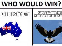 Australian magpie imitates fire sirens in video, magpie imitates fire sirens video, video magpie imitates fire sirens