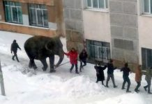 Two elephants escape from circus in Russia to play in the snow in video