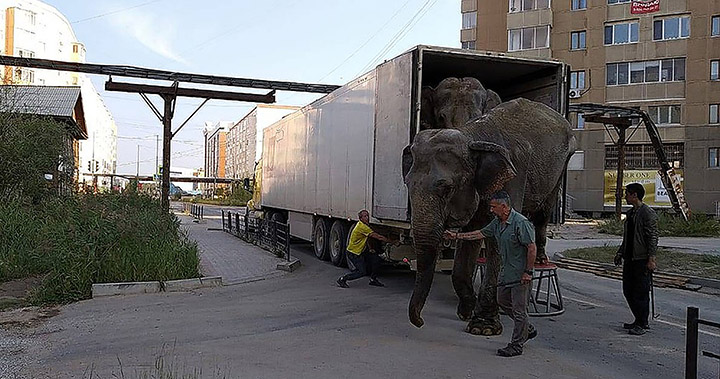 Two elephants escape circus in Russia, Two elephants escape circus in Russia video, Two elephants escape circus in Russia picture, Two elephants escape circus in Russia news, Two elephants escape circus in Russia january 2020