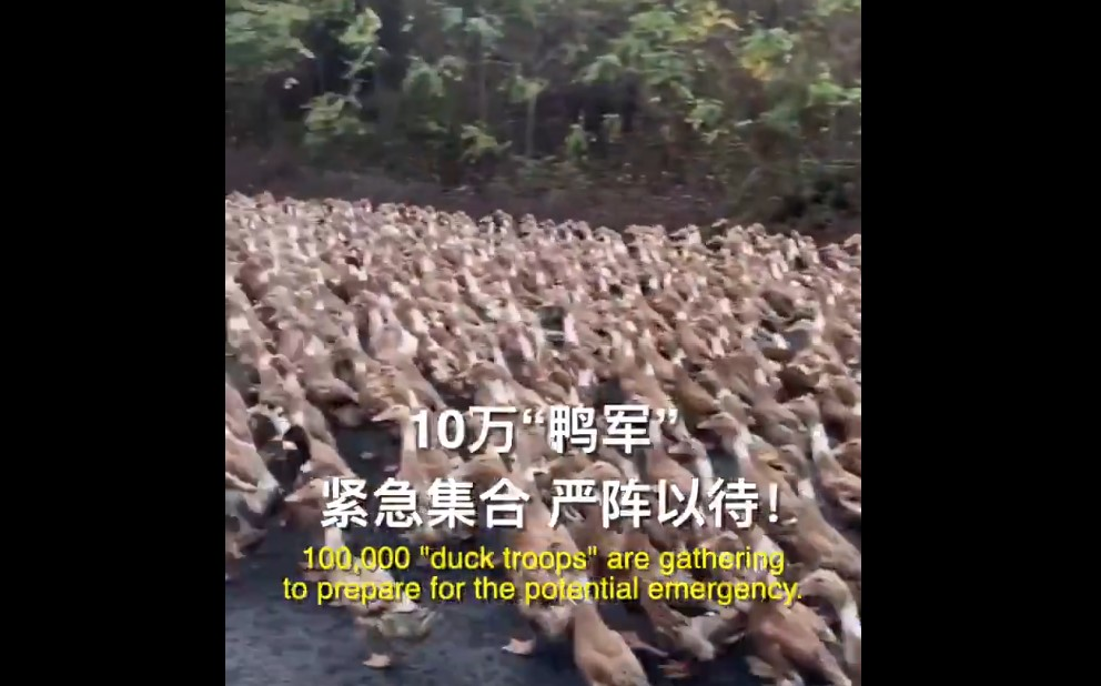 "As 400 billion locusts approach China from the India-Pakistan border, 100,000 ""duck troops"" are gathering to prepare for the potential emergency."