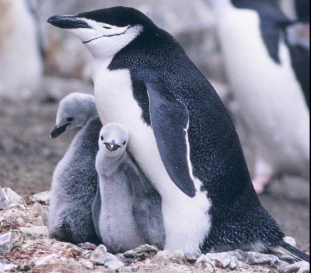antarctica Chinstrap penguin die-off, Chinstrap penguin population plunges 77% in past 50 years, antarctica chinstrap penguin