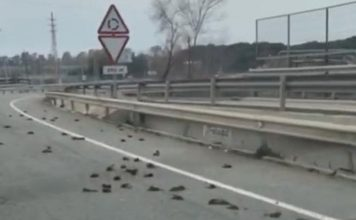 birds fall from sky dead catalonia spain, birds fall from sky dead catalonia spain video, birds fall from sky dead catalonia spain pictures