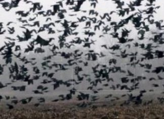 Huge flocks of crows and giant mosquitoes invade coronavirus infected regions of China, Huge flocks of crows and giant mosquitoes invade coronavirus infected regions of China video, Huge flocks of crows and giant mosquitoes invade coronavirus infected regions of China pictures, crows invade china coronavirus region mosquitoes