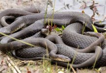 florida snake orgy, florida snake orgy video, florida snake orgy pictures, snake orgy in Florida