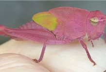 pink grasshopper, pink grasshopper picture, rare pink grasshopper, rare pink grasshopper texas