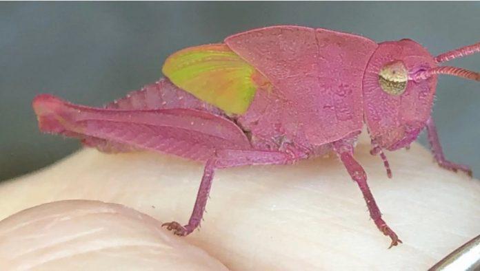 pink grasshopper, pink grasshopper picture, rare pink grasshopper, rare pink grasshopper texas