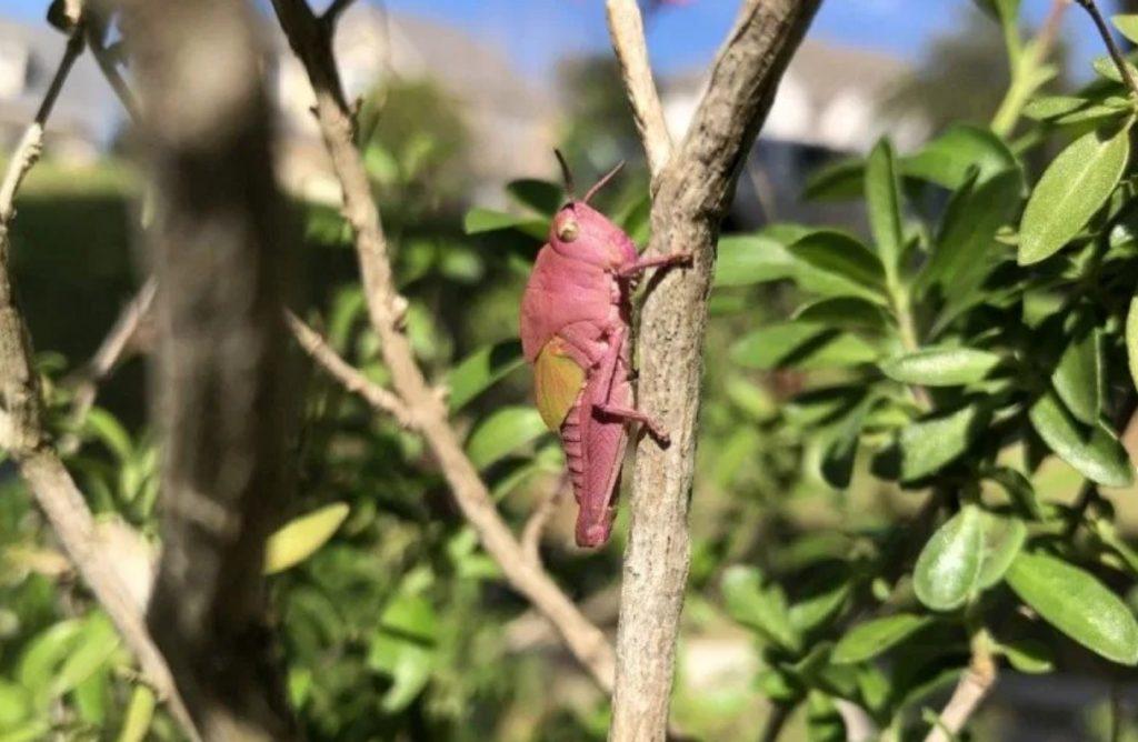 texas pink grasshopper,pink grasshopper, pink grasshopper picture, rare pink grasshopper, rare pink grasshopper texas