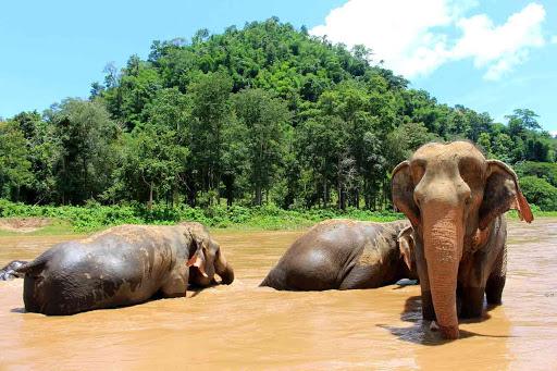 elephants in thailand freed, free elephants thailand, hundreds of elephants freed in thailand due to coronavirus