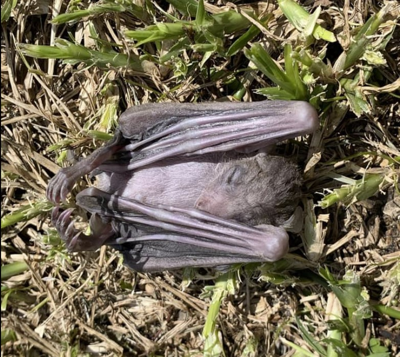 israel dead bats, dead bats israel, Dead bats falling from the sky in several cities across Israel, dead bats israel prophecy march 2020