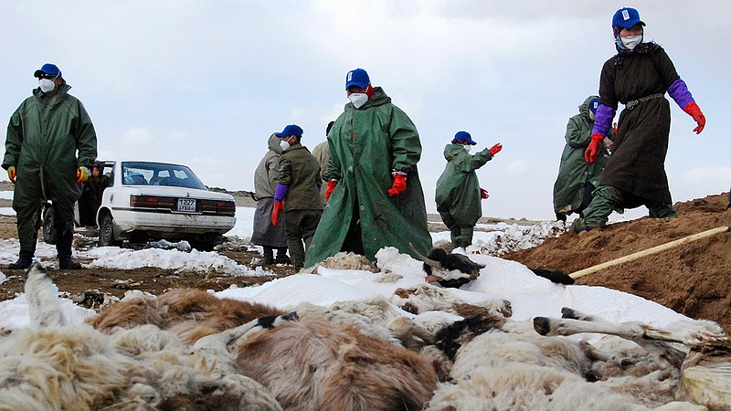mongolia dzud severe winter kills 55000 livestock animals, mongolia dzud severe winter kills 55000 livestock animals picture, mongolia dzud severe winter kills 55000 livestock animals video