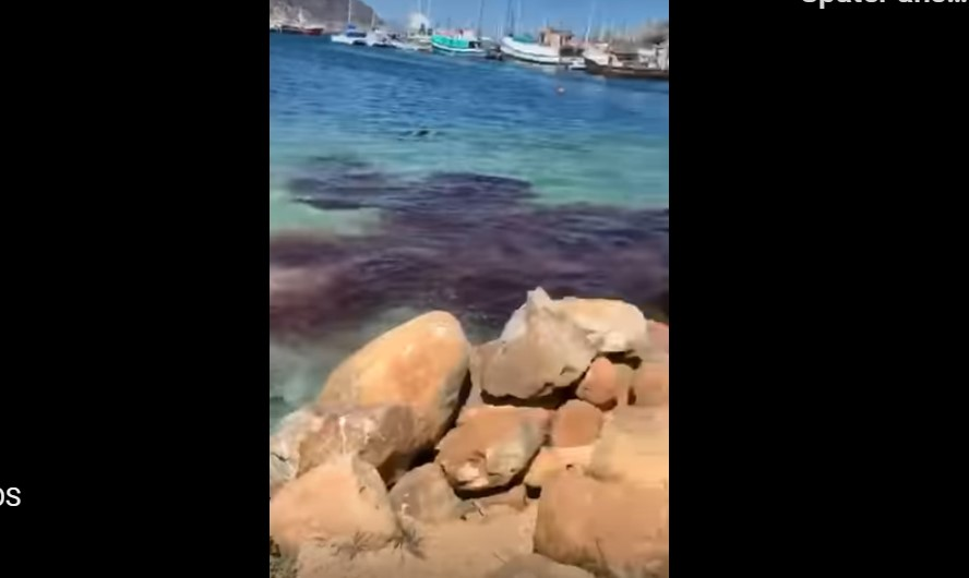 south africa blood red water cape town video, march 2020,Cape Fur Seal Attacks Dwarf Sperm Whale in Hout Bay Harbour, Cape Town, South Africa