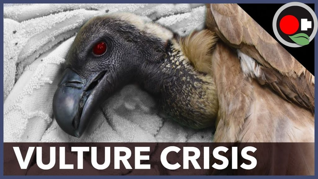 More than 650 vultures found dead in Guinea-Bissau, 1000 dead birds in Missouri and 50 birds in India,vulture crisis, vulture crisis africa, vulture crisis africa video