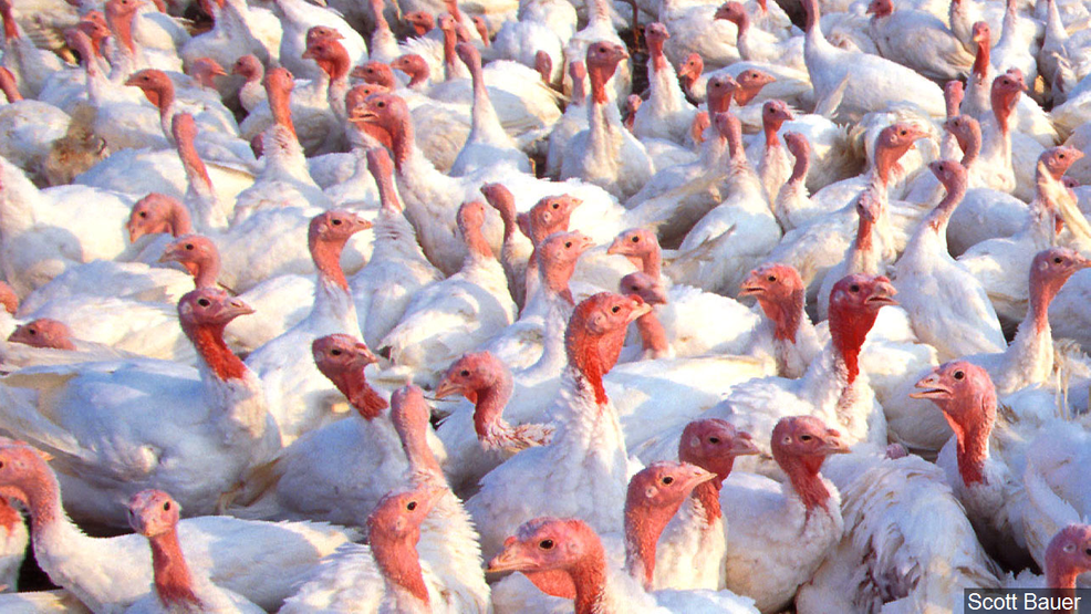 More than 32000 turkeys have been killed after an aggressive bird flu (H7N3) outbreak in South Carolina, More than 32000 turkeys have been killed after an aggressive bird flu (H7N3) outbreak in South Carolina video, More than 32000 turkeys have been killed after an aggressive bird flu (H7N3) outbreak in South Carolina pictures, More than 32000 turkeys have been killed after an aggressive bird flu (H7N3) outbreak in South Carolina news, More than 30,000 turkeys euthanized after deadly bird flu found in South Carolina flock