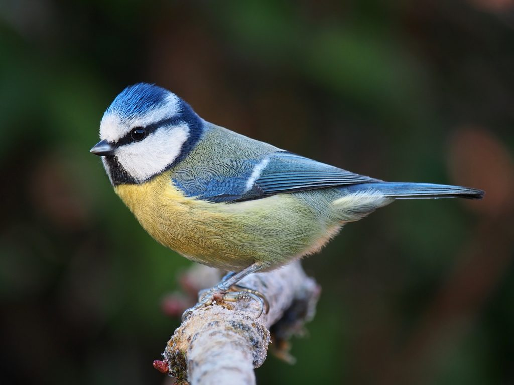 Mystery disease is killing Germany blue tits, Mystery disease is killing Germany blue tits video, Mystery disease is killing Germany blue tits pictures