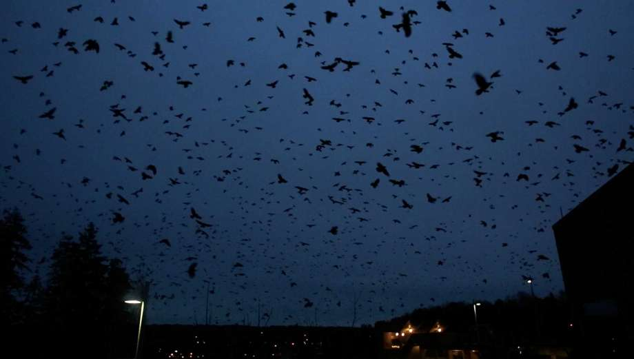 Thousands of crows darken Bothell's sky, Thousands of crows darken Bothell's sky video, Thousands of crows darken Bothell's sky apocalypse