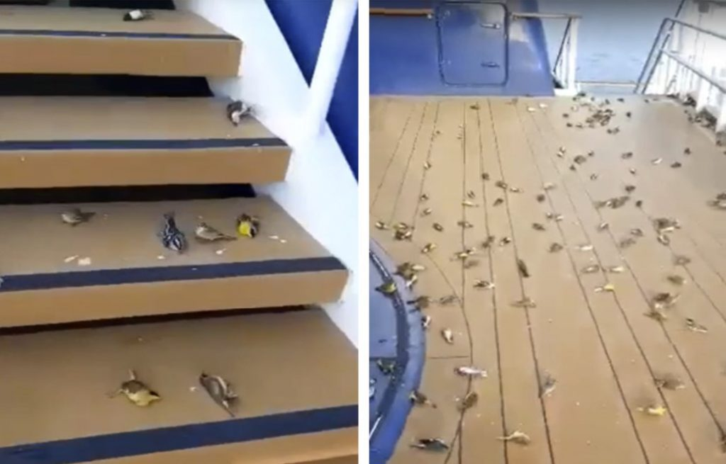 Hundreds of birds dropped from the sky on the open decks of a cruise ship, Hundreds of birds dropped from the sky on the open decks of a cruise ship video, Hundreds of birds dropped from the sky on the open decks of a cruise ship pictures, hundreds of birds cruise ship open deck