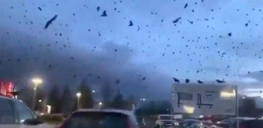 massive crow murder washington seattle, massive crow murder washington seattle video, massive crow murder washington seattle picture