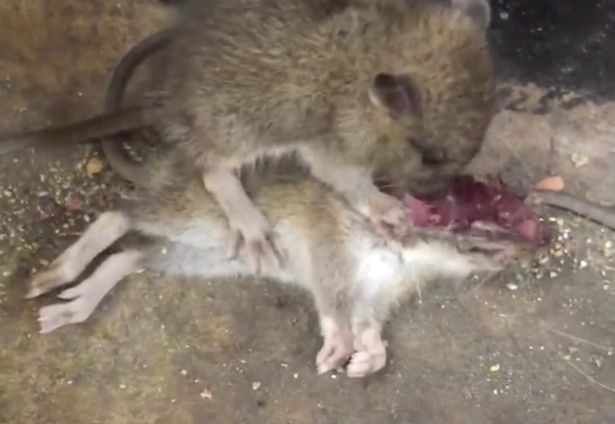 rats cannibalism infanticide america lockdown
