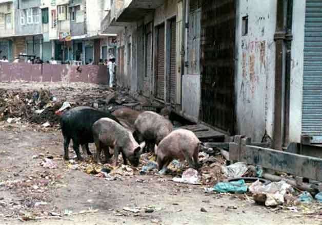 stray pigs eat boy alive india, stray pigs eat boy alive india video, stray pigs eat boy alive india pictures, stray pigs eat boy alive india april 2020, stray pigs eat boy alive india lockdown