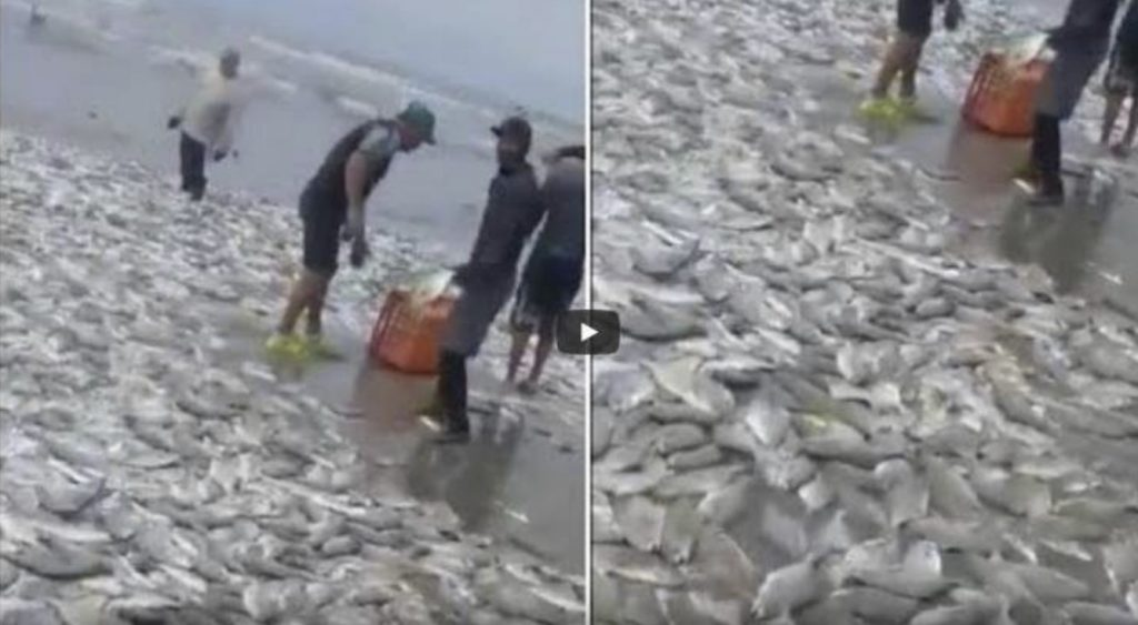 Thousands of fish wash up on beach in Acapulco mexico, Thousands of fish wash up on beach in Acapulco video
