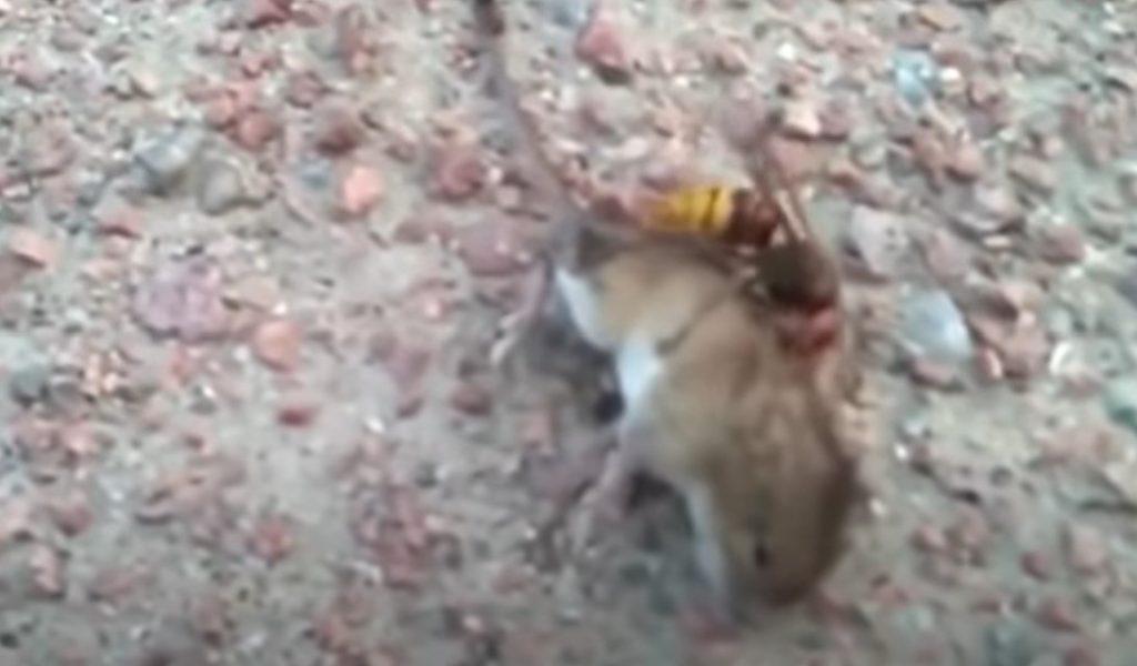 Terrifying video shows asian murder hornet killing a mouse, asian giant hornet kills mouse video
