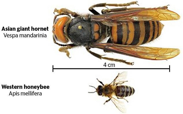 Asian giant hornet kills mouse in terrifying video, murder hornet kills mouse video, asian murder hornet attacks mouse video