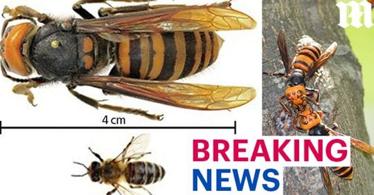 Giant Asian hornets are slowly invading the U.S. and Canada, murder hornets usa canada, giant murder hornets in canada and usa for first time