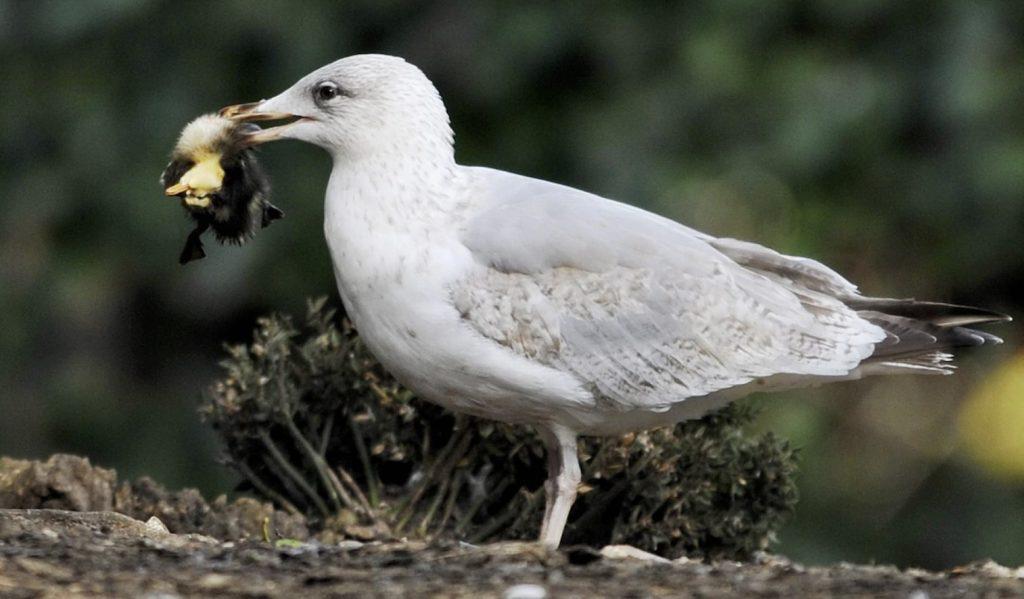 gulls kill rats and pigeons rome italy, gulls kill rats and pigeons rome italy video, gulls kill rats and pigeons rome italy pictures