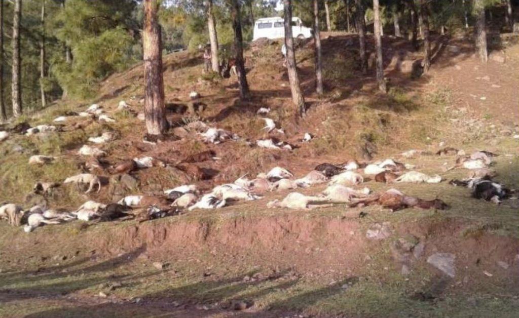 lightning kills sheep and goats kashmir, lightning kills sheep and goats kashmir picture, lightning kills sheep and goats kashmir video