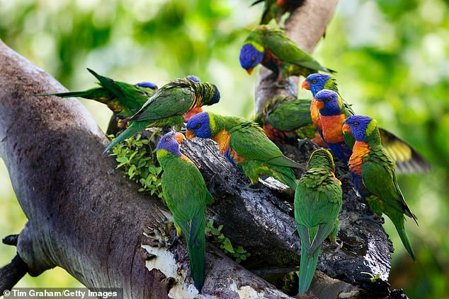 lorikeet death australia, bird death australia, mysterious virus kills hundreds of Lorikeet in Australia, Lorikeet paralysis syndrome, mysterious virus kills hundreds of Lorikeet in Australia Lorikeet paralysis syndrome may 2020