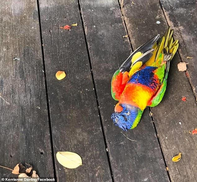 Lorikeets estão morrendo em massa na Austrália, morte de Lorikeet na Austrália, morte de pássaros na Austrália, vírus misterioso mata centenas de Lorikeet na Austrália, síndrome de paralisia de Lorikeet, vírus misterioso mata centenas de Lorikeet na Austrália Síndrome de paralisia de Lorikeet em maio de 2020