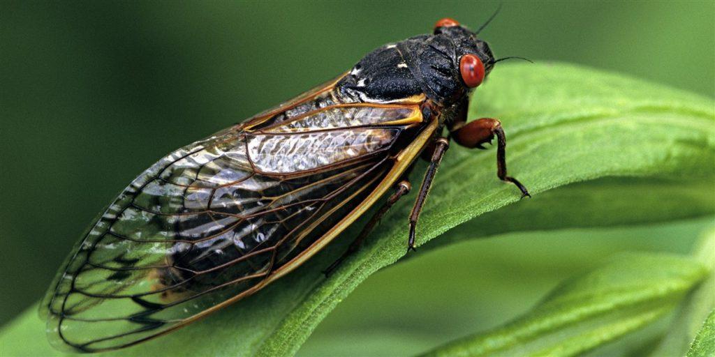 millions of cicadas invade usa, millions of cicadas invade usa video, millions of cicadas invade usa pictures, millions of cicadas invade usa video