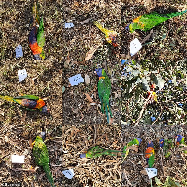 mysterious virus kills hundreds of Lorikeet in Australia, Lorikeet paralysis syndrome, mysterious virus kills hundreds of Lorikeet in Australia Lorikeet paralysis syndrome may 2020