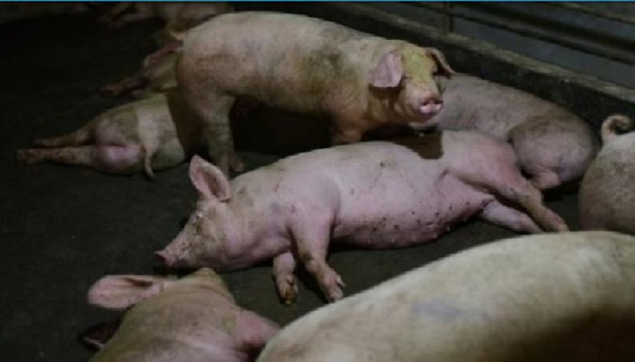 pigs aborted chickens gassed as pandemic slams us meat sector, pigs aborted chickens gassed as pandemic slams us meat sector video, pigs aborted chickens gassed as pandemic slams us meat sector pictures
